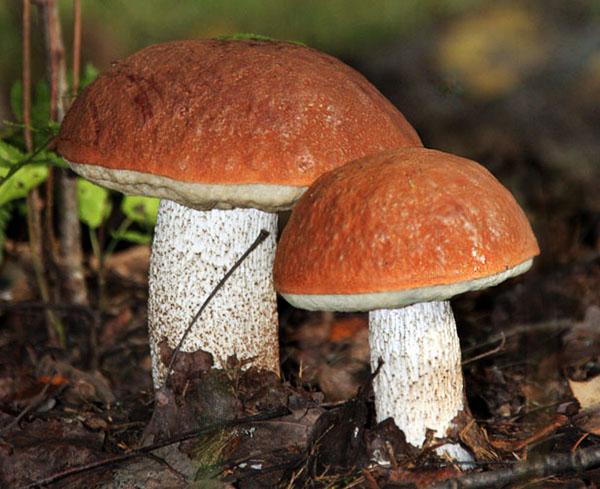 фото грибы подосиновики